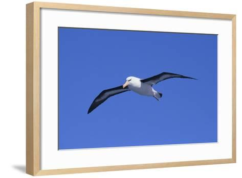 Black-Browed Albatross in Flight-DLILLC-Framed Art Print