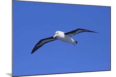 Black-Browed Albatross in Flight-DLILLC-Mounted Photographic Print