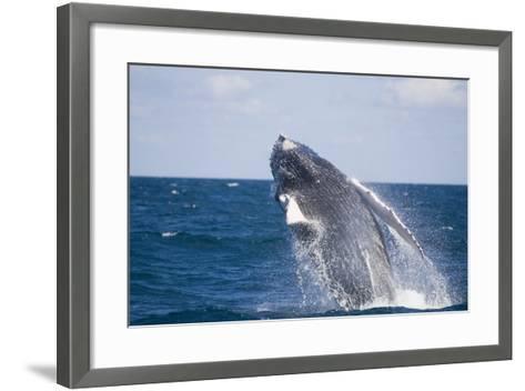Humpback Whale Breaching from the Atlantic Ocean-DLILLC-Framed Art Print