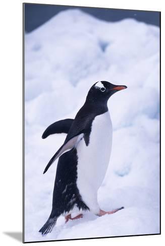 Gentoo Penguin Walking in Ice-DLILLC-Mounted Photographic Print