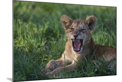 Lion Cub Snarling-DLILLC-Mounted Photographic Print
