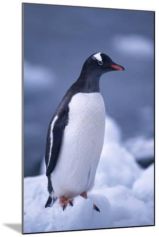 Gentoo Penguin on Ice-DLILLC-Mounted Photographic Print