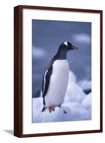 Gentoo Penguin on Ice-DLILLC-Framed Art Print