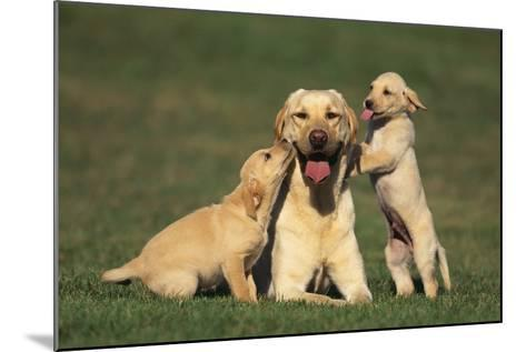 Yellow Lab Mother and Puppies-DLILLC-Mounted Photographic Print