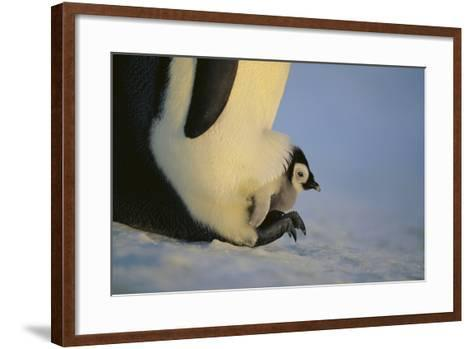 Emperor Penguin Protecting Offspring from the Cold-DLILLC-Framed Art Print