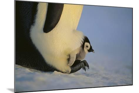 Emperor Penguin Protecting Offspring from the Cold-DLILLC-Mounted Photographic Print