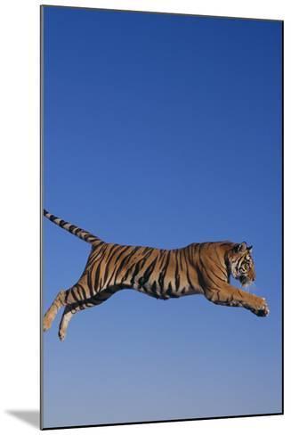 Bengal Tiger Jumping-DLILLC-Mounted Photographic Print