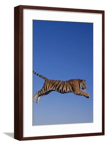 Bengal Tiger Jumping-DLILLC-Framed Art Print