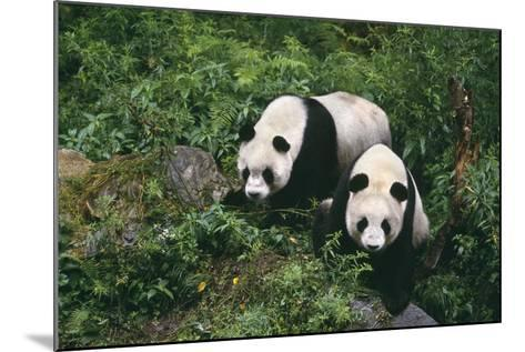 Giant Pandas Walking in Forest-DLILLC-Mounted Photographic Print