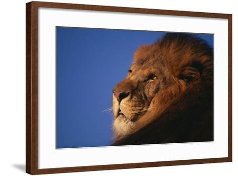 African Lion-DLILLC-Framed Art Print