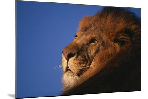 African Lion-DLILLC-Mounted Photographic Print
