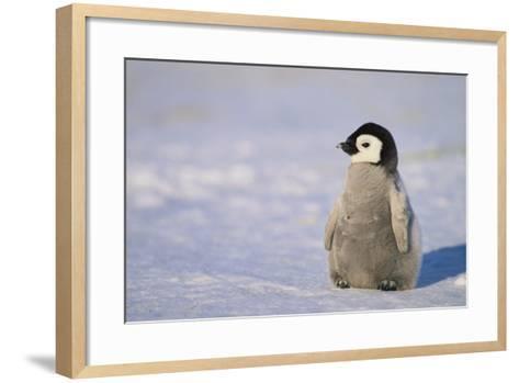 Baby Emperor Penguin-DLILLC-Framed Art Print