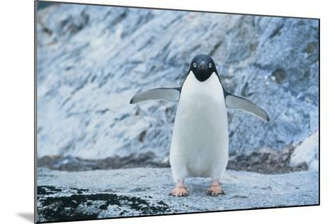 Fearless Adelie Penguin-DLILLC-Mounted Photographic Print