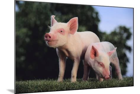 Two Yorkshire Pigs-DLILLC-Mounted Photographic Print