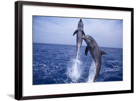 Bottlenosed Dolphins Leaping from Water-DLILLC-Framed Art Print
