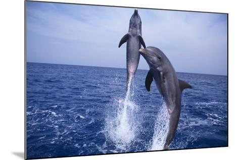 Bottlenosed Dolphins Leaping from Water-DLILLC-Mounted Photographic Print