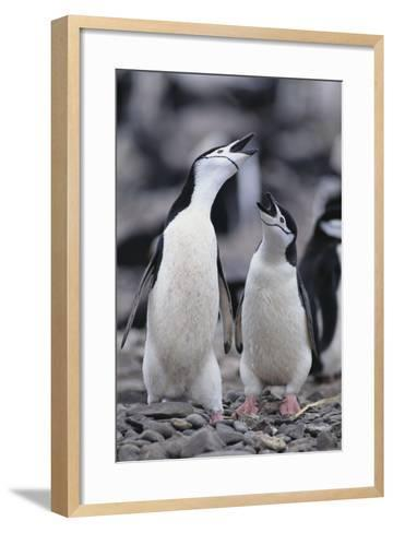 Young Chinstrap Penguins-DLILLC-Framed Art Print