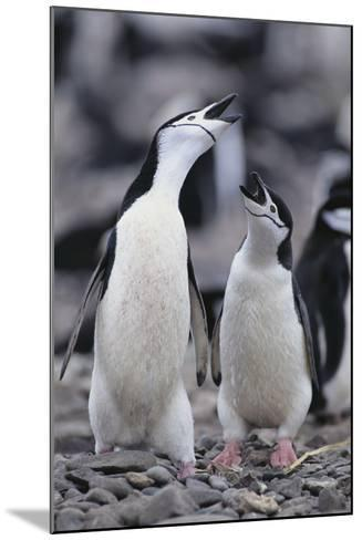 Young Chinstrap Penguins-DLILLC-Mounted Photographic Print
