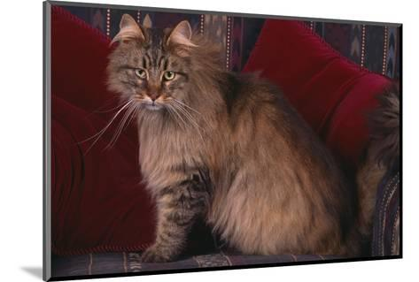 Maine Coon Cat on Chair-DLILLC-Mounted Photographic Print