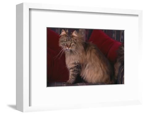 Maine Coon Cat on Chair-DLILLC-Framed Art Print