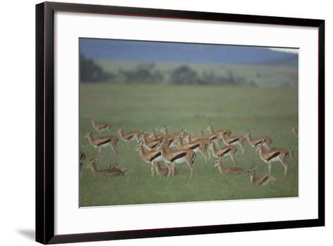 Thomson's Gazelle-DLILLC-Framed Art Print