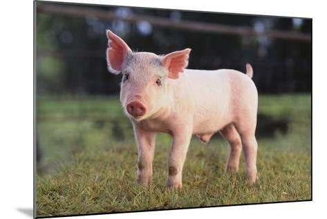 Yorkshire Pig on Grass-DLILLC-Mounted Photographic Print