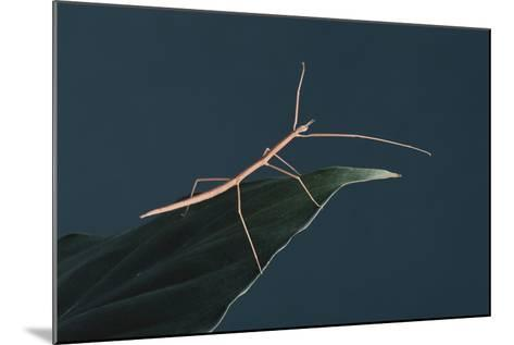 Stick Insect on Leaf-DLILLC-Mounted Photographic Print