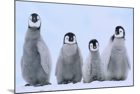 Young Emperor Penguins-DLILLC-Mounted Photographic Print