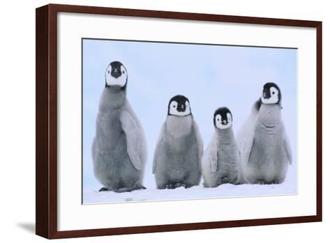 Young Emperor Penguins-DLILLC-Framed Art Print