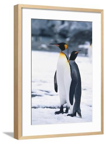 King Penguins Looking in Different Directions-DLILLC-Framed Art Print