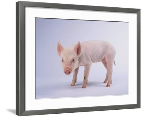Yorkshire Pig-DLILLC-Framed Art Print