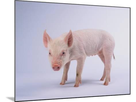 Yorkshire Pig-DLILLC-Mounted Photographic Print