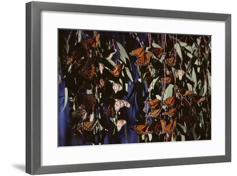 Monarch Butterflies-DLILLC-Framed Art Print