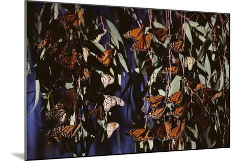 Monarch Butterflies-DLILLC-Mounted Photographic Print