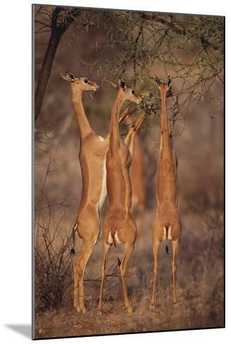 Gerenuk Feeding on Acacia Trees-DLILLC-Mounted Photographic Print