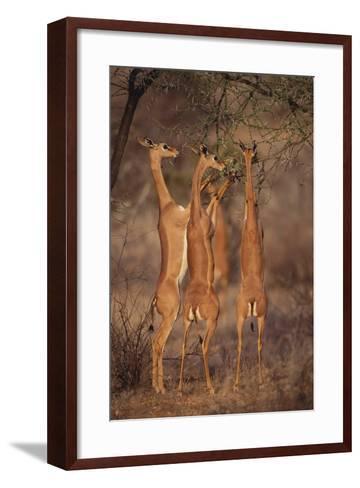 Gerenuk Feeding on Acacia Trees-DLILLC-Framed Art Print
