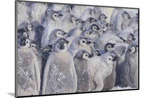 Young Emperor Penguins Covered in Snow-DLILLC-Mounted Photographic Print