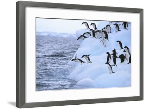 Adelie Penguin-DLILLC-Framed Art Print