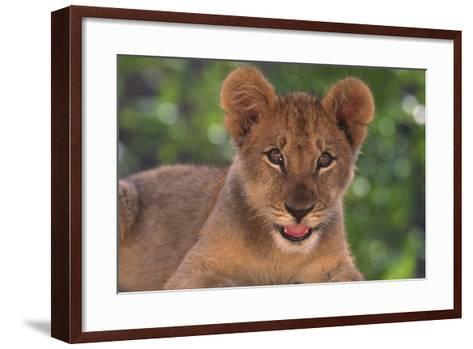 African Lion Cub-DLILLC-Framed Art Print