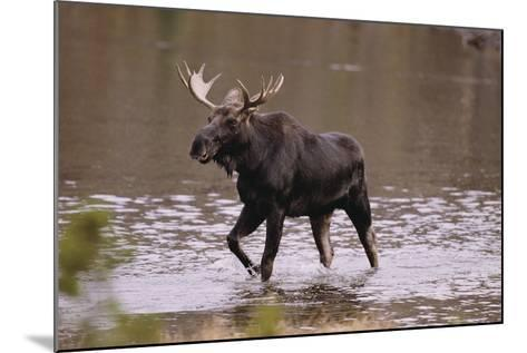 Moose Crossing River-DLILLC-Mounted Photographic Print