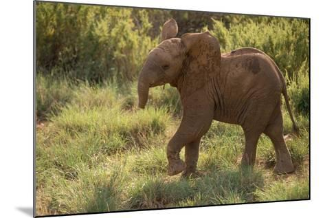 Baby Elephant Flaring its Ears-DLILLC-Mounted Photographic Print