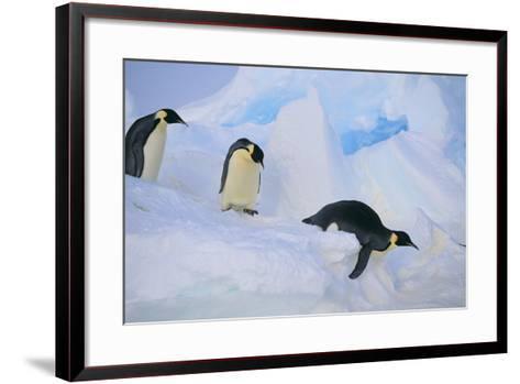 Emperor Penguins Sliding Downhill-DLILLC-Framed Art Print