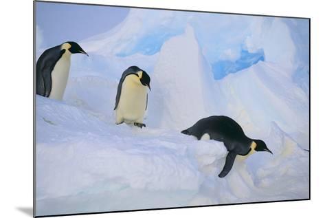 Emperor Penguins Sliding Downhill-DLILLC-Mounted Photographic Print