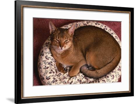 Abyssinian Ruddy Cat Lying on Cushion-DLILLC-Framed Art Print