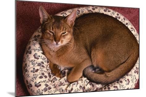 Abyssinian Ruddy Cat Lying on Cushion-DLILLC-Mounted Photographic Print