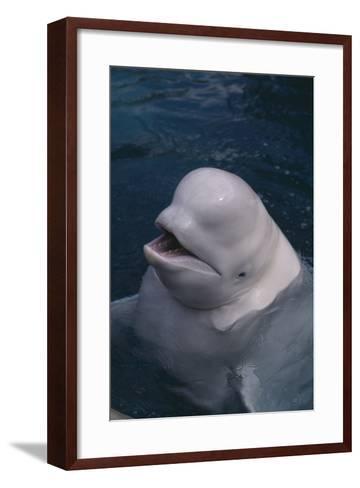 Beluga Whale Spyhopping-DLILLC-Framed Art Print