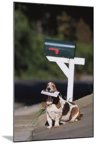 Basset Hound Fetching the Mail-DLILLC-Mounted Photographic Print