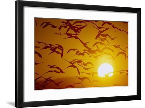 Snow Geese in Flight at Sunset-DLILLC-Framed Art Print