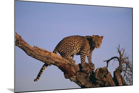 Leopard Climbing Tree-DLILLC-Mounted Photographic Print