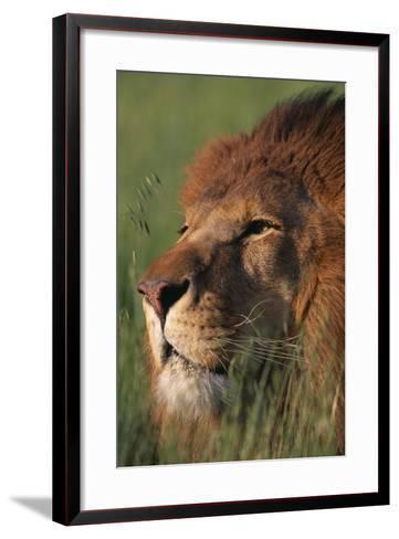 Lion in Grass-DLILLC-Framed Art Print